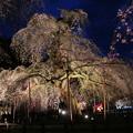 壮観な樹齢600余年の枝垂れ桜の美
