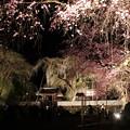清雲寺枝垂れ桜のライトアップ1