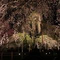 豪華絢爛枝垂桜の世界