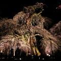 古木の尊厳枝垂れ桜のライトアップ