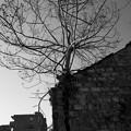 Photos: 樹