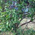 写真: 昼食も食べずに収穫終了。枝をかなり落としたから、来年はあまり生ら...