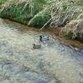 写真: 鴨のつがいが仲良く泳いでいる。ヒナも別の場所で確認。