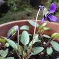 写真: ようやく開花