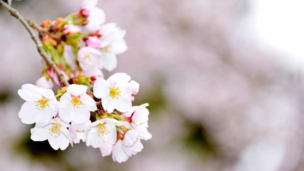 桜フラッシュ!