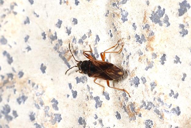 ナガカメムシの一種