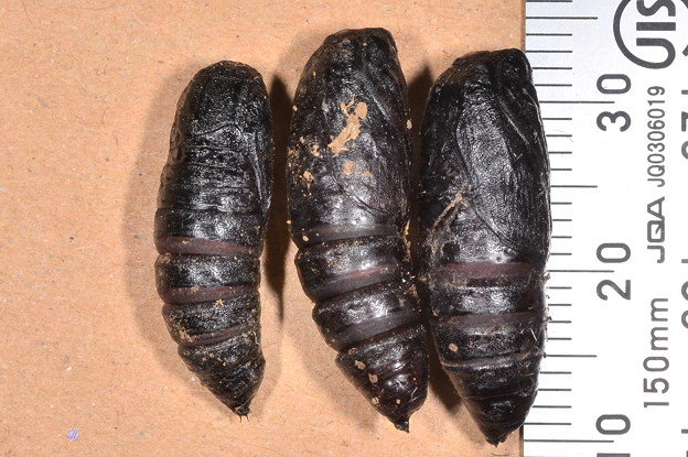 ハマオモトヨトウの蛹2