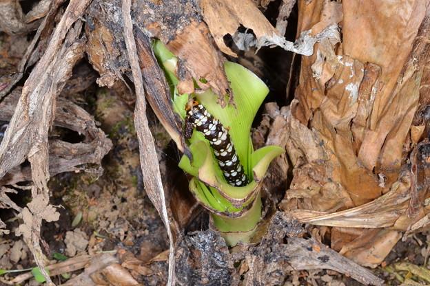ハマオモトヨトウの幼虫4