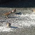 餌に群がるスズメ  2