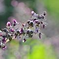 Photos: ミズカンナの花。