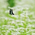 9月の蝶たち -白い花にアオスジアゲハ-