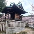 鯛の宮神社 Tainomiya Shrine 境内北 さくら 呉市西三津田町 2016年4月5日