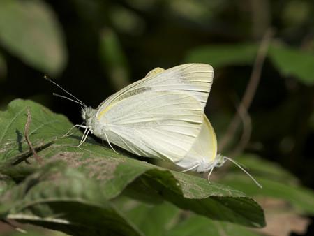 モンシロチョウ(交尾中)