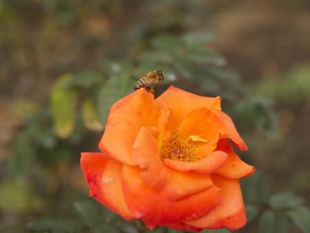 バラに飛来する西洋ミツバチ