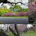 御苑の桜・遅咲き桜を楽しむ