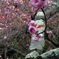 御苑の八重桜・関山