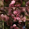 遅咲き桜巡り1