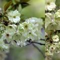 緑色の目立つ鬱金桜