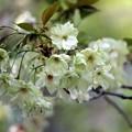 Photos: 鬱金桜