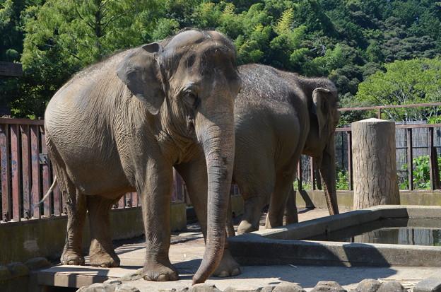 アジアゾウ 日本平動物園 2014 09 14