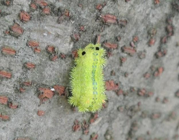イラガの幼虫 (1)