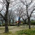 前日の花見の狼藉跡 (1)