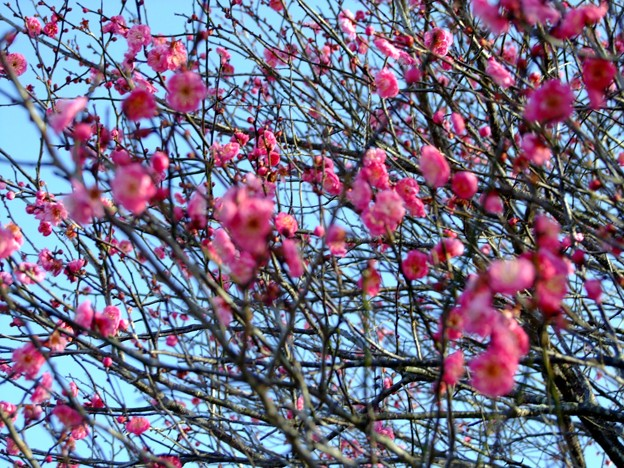 新春・紅梅の開花