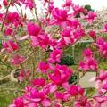 IM木蓮が花盛り