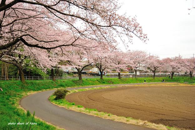 見沼田んぼの桜