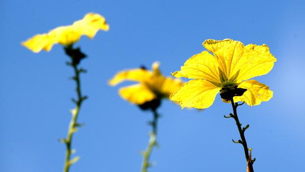 瓢箪の花11