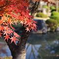 Photos: 東寺のもみじ