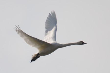 飛ぶ白鳥その1