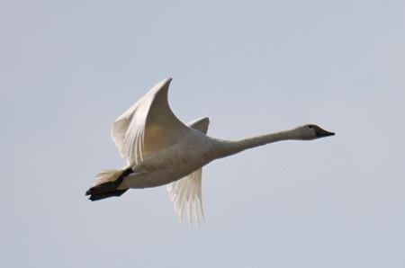 飛ぶ白鳥その2