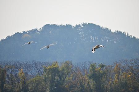 飛ぶ白鳥その3