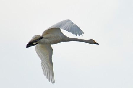 飛ぶ白鳥その4