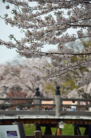 160416霞城公園の桜02
