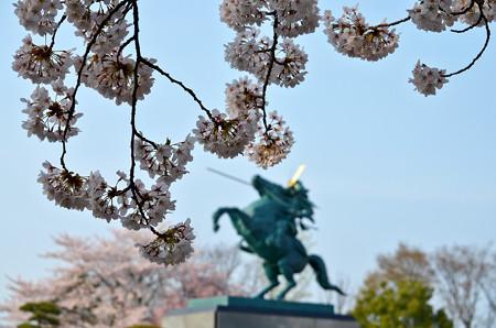 160416霞城公園の桜06