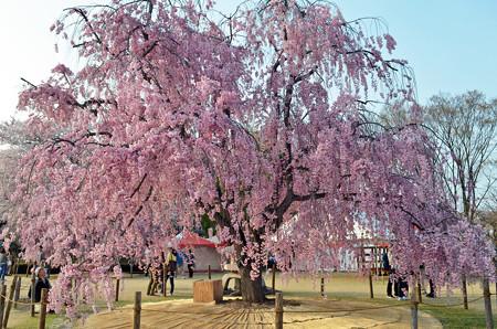 160416霞城公園の桜10