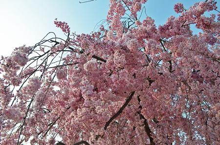 160416霞城公園の桜11