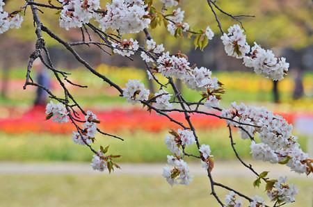チューリップ園だけど桜