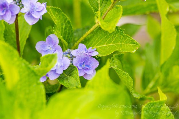 写真: 紫