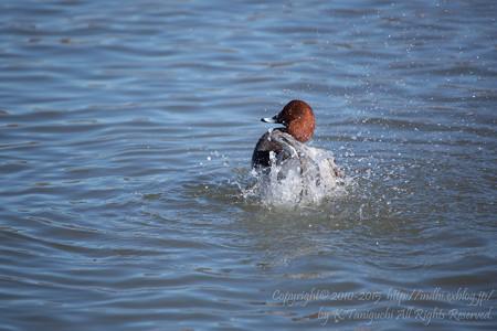 鴨と水しぶき