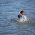 Photos: 鴨と水しぶき