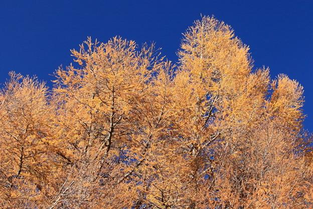 澄み切った青空とカラマツの黄葉