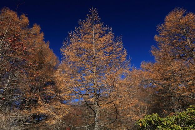 澄み切った青空とカラマツの黄葉3