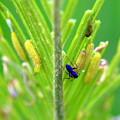 クロマダラソテツシジミの幼虫(サン・メッセ日南)