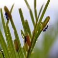 クロマダラソテツシジミの幼虫(サン・メッセ日南)-001