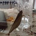 バナナセセリ♀(大宜見村で幼虫採取) (3)