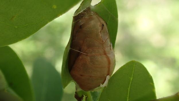 ウラゴマダラシジミの蛹(新城市宇利峠)