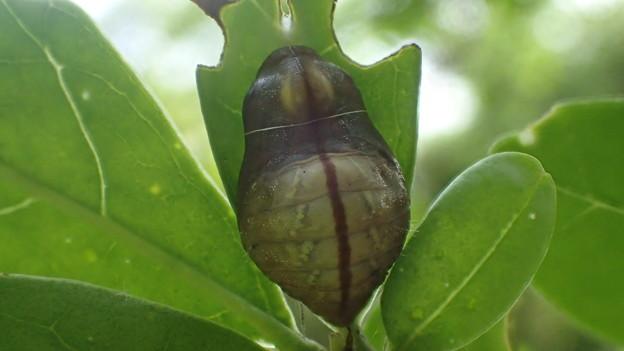 ウラゴマダラシジミの蛹(吉良町駮馬)